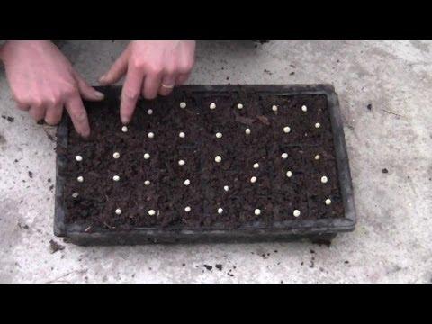 Erbsen Und Bohnen Im Frühjahr Im Garten Bzw. Gewächshaus Pflanzen