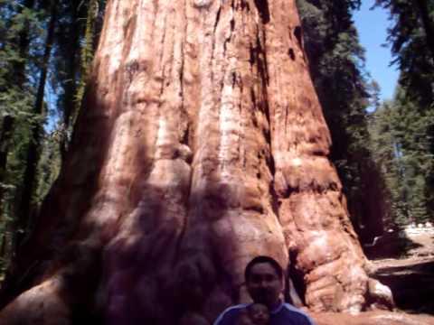 El arbol mas grande del mundo general sherman tree for Arbol mas grande del mundo
