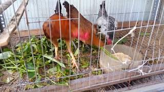 Tạo lớp lót cho gà tre nuôi trên sân thượng