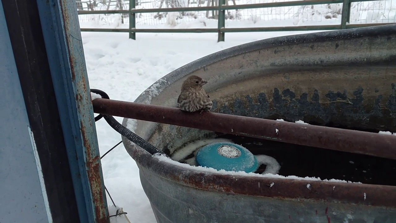 Heroic Human Rescues Sparrow Frozen On Fence