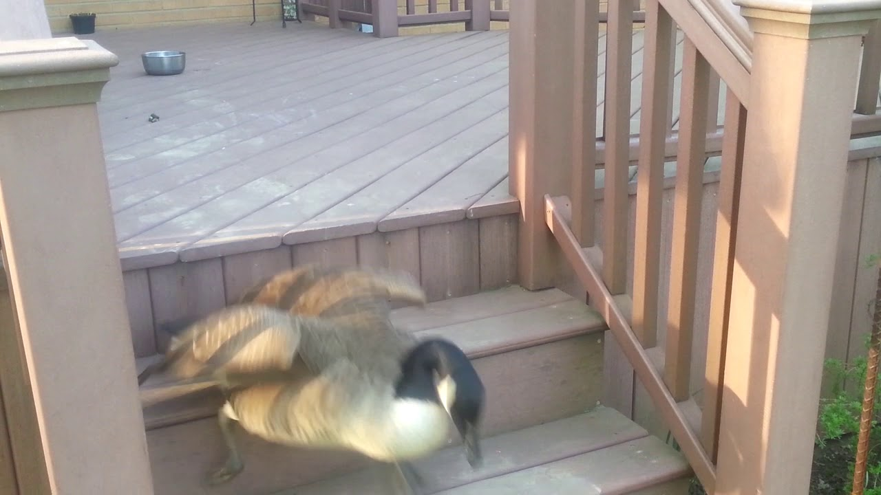 Hannah the Goose trips coming down