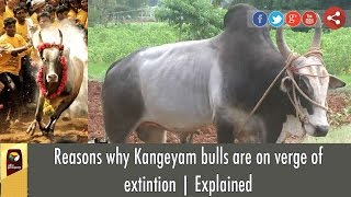 Reasons why Kangeyam bulls are on verge of extintion | Explained