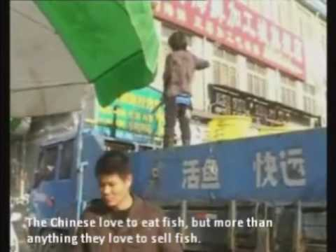 Chinese Tilapia Scam .wmv