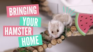Bringing home your Hamster | What to expect!