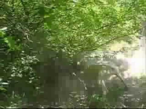 dogo argentino hunting boar. Dogo Argentino Hunting