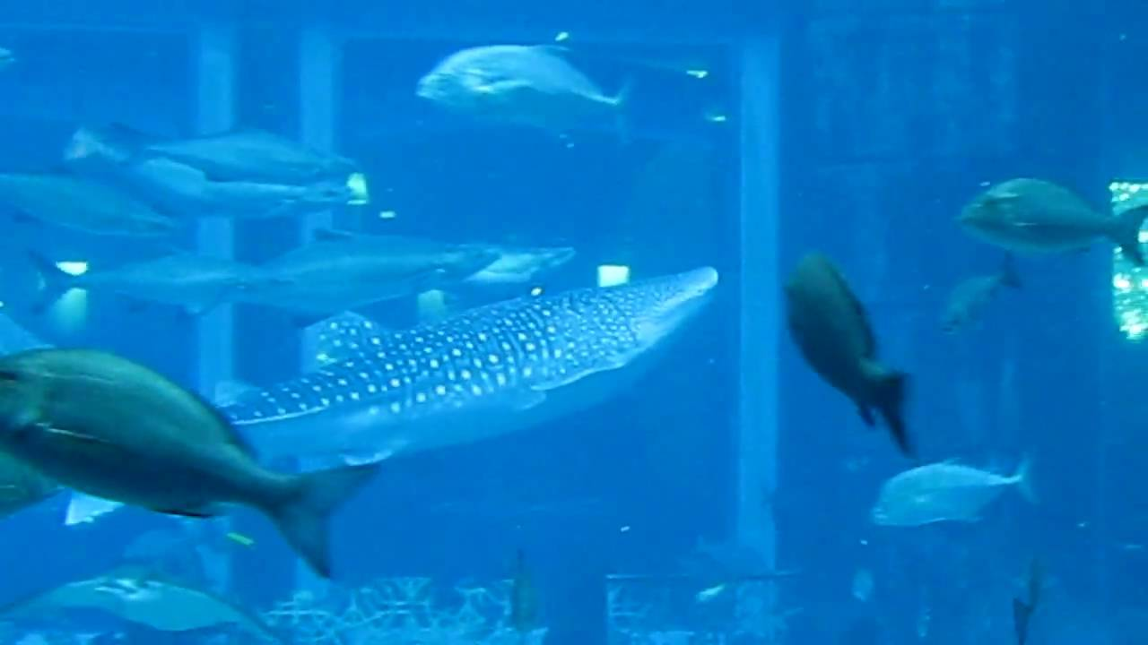 Whale Shark in worlds biggest fish tank at Atlantis Hotel ...