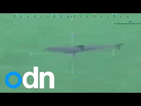 Great white shark forces Massachusetts beach evacuation