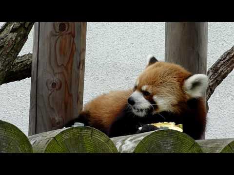 201006 Red Panda