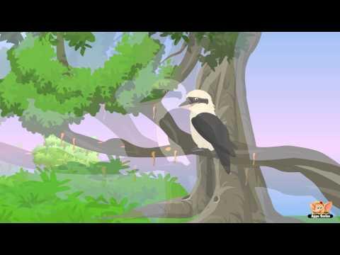 Animal Facts in Hindi - Kookaburra