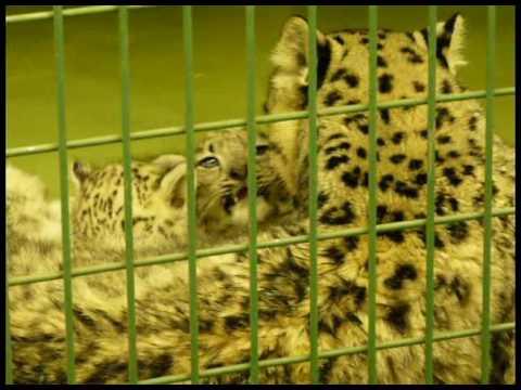 09年07月08日 ユキヒョウの赤ちゃん 授乳中(円山動物園)