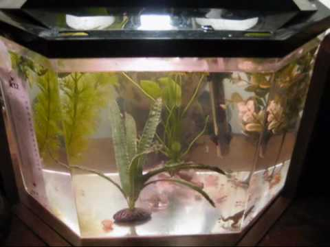African Clawed Gecko Setup Baby African Clawed Frog Setup
