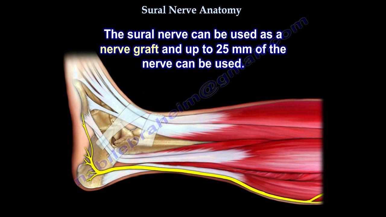 Sural Nerve Anatomy