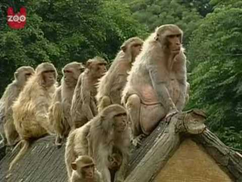 Fat Monkeys Pictures Fat Monkeys