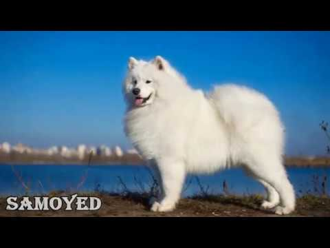 0 Top 10 Most Expensive Dog Breeds in the World