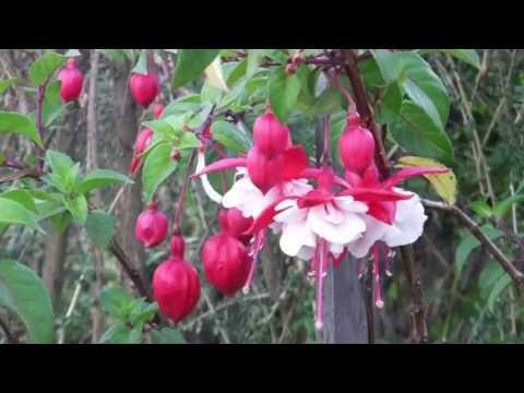 58 コリカンチャの花