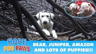 Homeless Labrador mom tried to trick us, but we found all her puppies!!!  Please share.