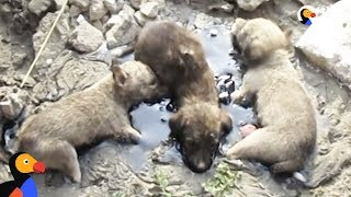 Puppies Stuck In Tar Cried Until People Heard and Rescued Them | The Dodo