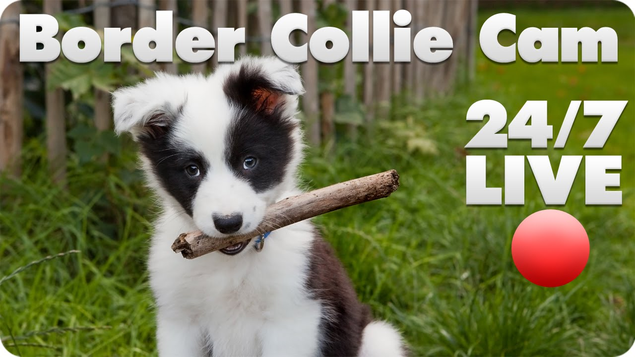 how to train a border collie puppy not to bite