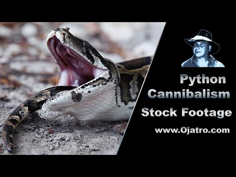 Python Eats Python 01   Stock Footage