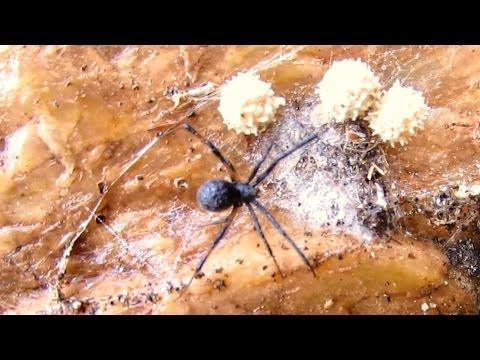 Black Widow Spider Identification and Behaviour
