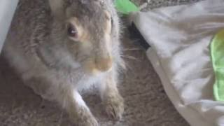 Rescued baby jackrabbit having lunch and a nap