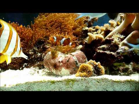 Aiptasia videolike for Aiptasia eating fish