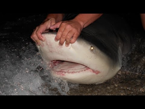 350 lb Bull Shark Land Based Shark Fishing!