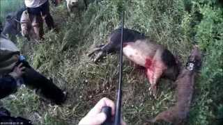 Large Hog Stuck After Working Dogs Over