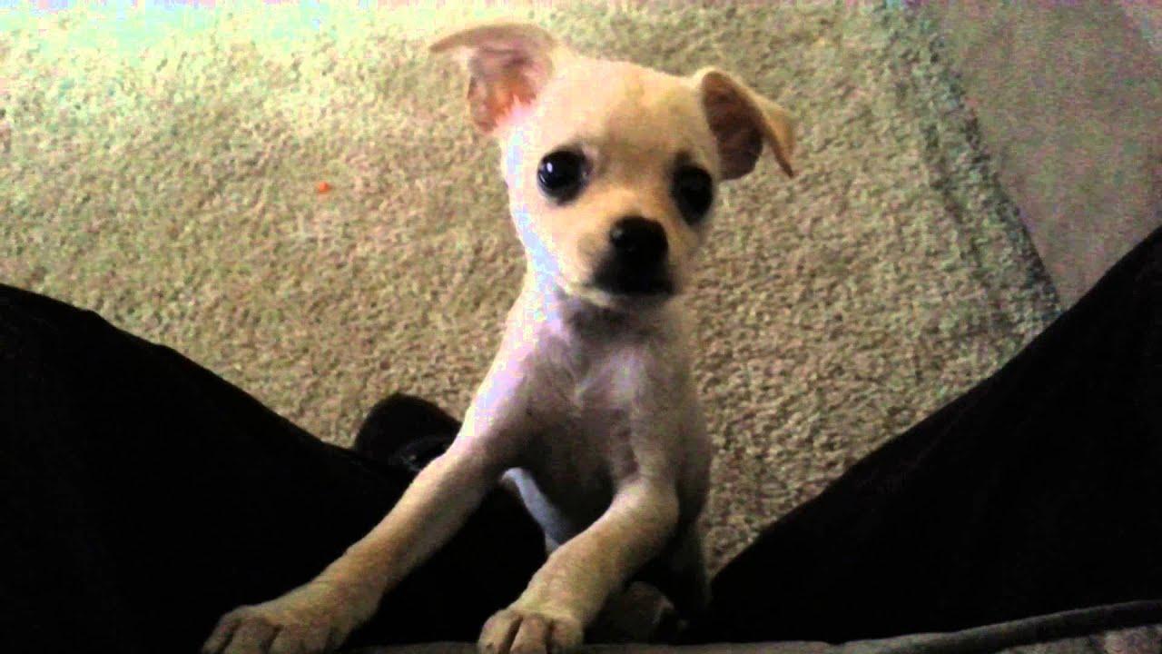 R Chihuahuas Smart My baby Chihuahua lear...