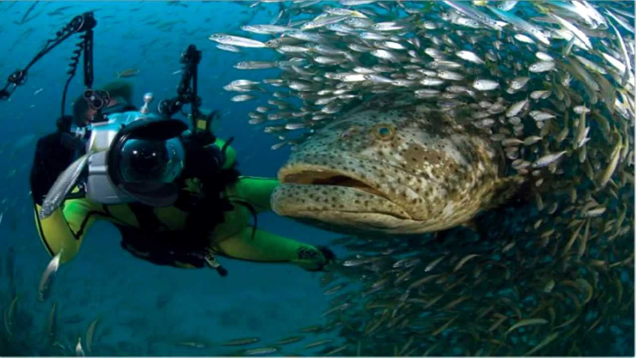 Giant fish found in the amazon river youtube for Goliath grouper fish
