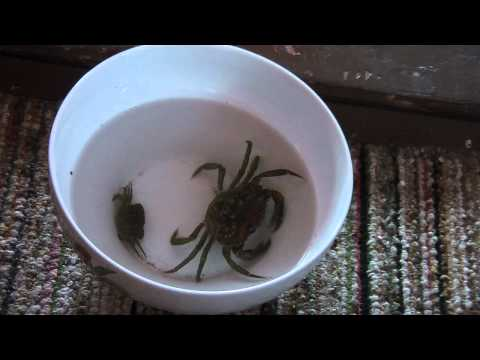 Time lapse crab birth