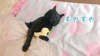 猫って意外と起きない…!? Cat sleeps with stuffed chick!?