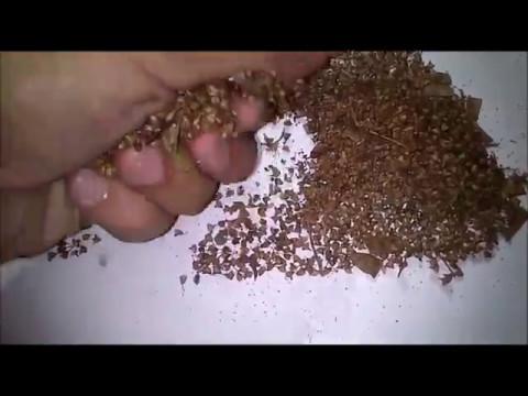 EZ Way! How to Harvest Holy basil/Tulsi (Ocimum tenuiflorum)seeds and to grow them.
