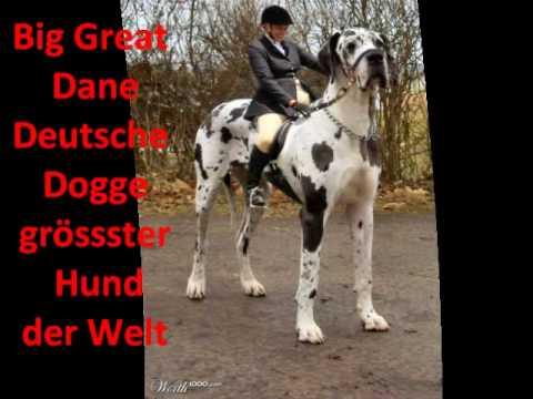 gr sster hund der welt the tallest dog in the world youtube. Black Bedroom Furniture Sets. Home Design Ideas