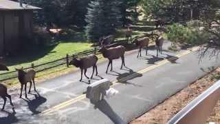 Elk Rut in Estes Park, Colorado