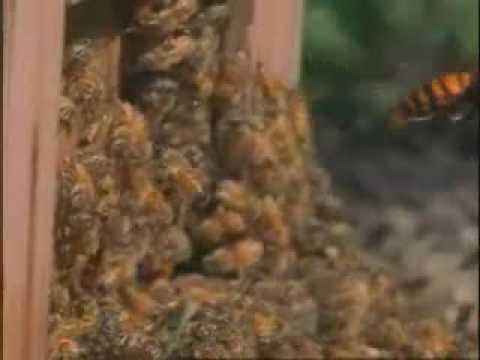 30 hornets vs. 30,000 bees