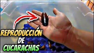 Como Reproducir Cucarachas (Alimento para Reptiles)