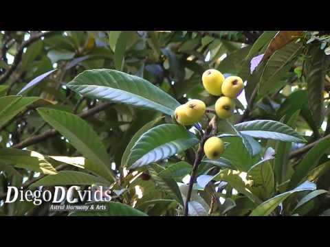 Eriobotrya japonica - loquat (Rosaceae) Japanese plum, Nespereira, Ameixa-amarela