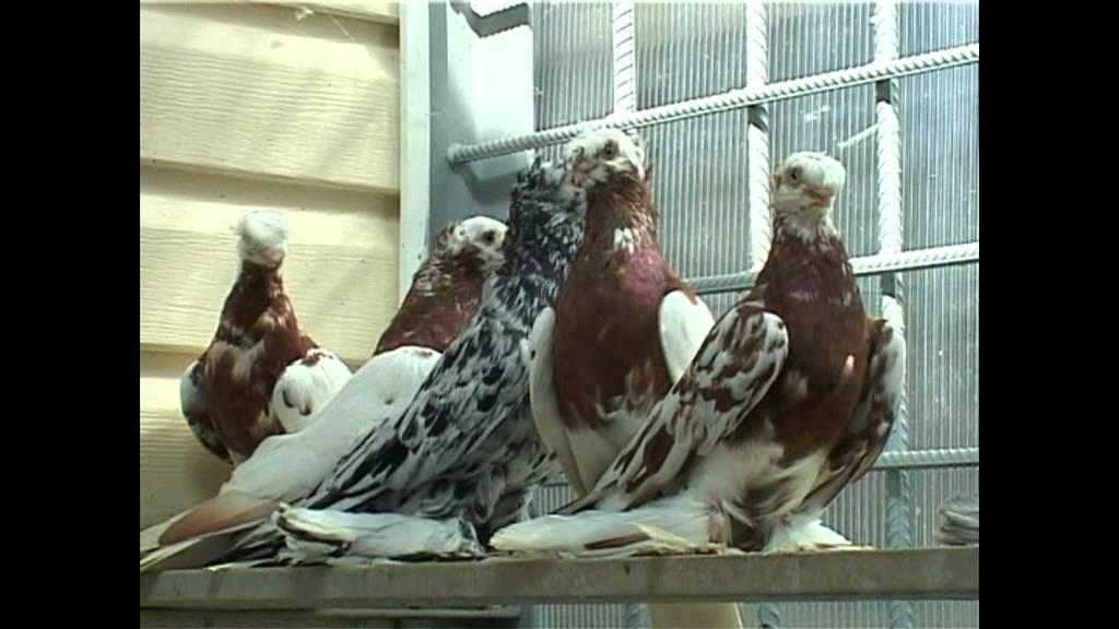 голуби смотреть видео: