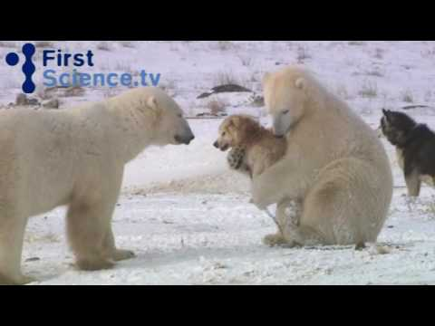Thumbnail of video Polar bears and dogs playing