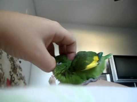 periquito verde mansinho