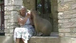 Thumb Entrenando a un capibara (roedor gigante) a pedir helados