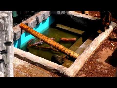 2011年7月28日 旭山動物園 アグレッシブなエゾヒグマ親子