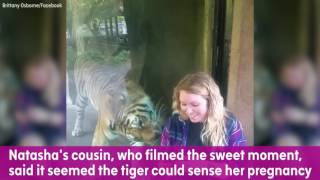 Tiger snuggles up to zoo visitor's baby bump