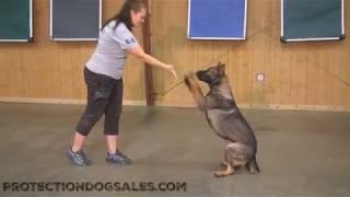 "Playful Tricks Obedience Fun ""Nitro"" 13 Mo's Sable German Shepherd For Sale"