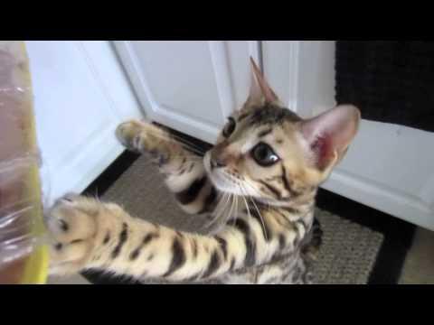 Hungry Bengal Kitten