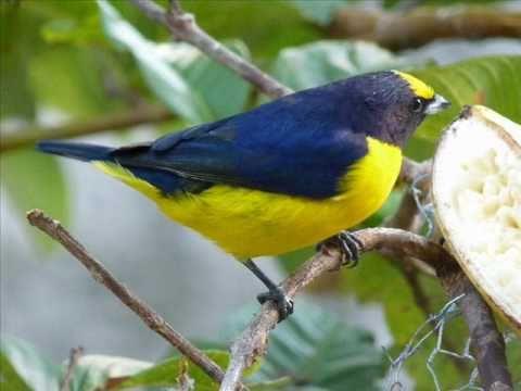 Pássaros de Guaratinguetá e seus cantos.