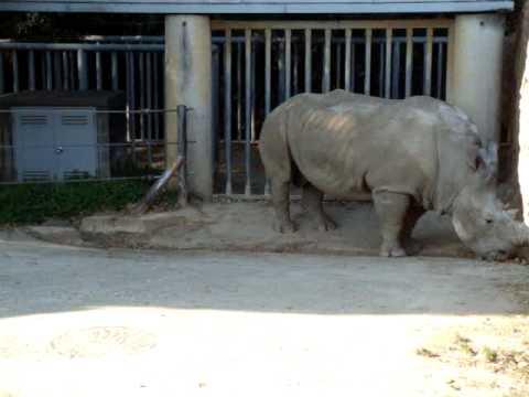 動植物園のシロサイ