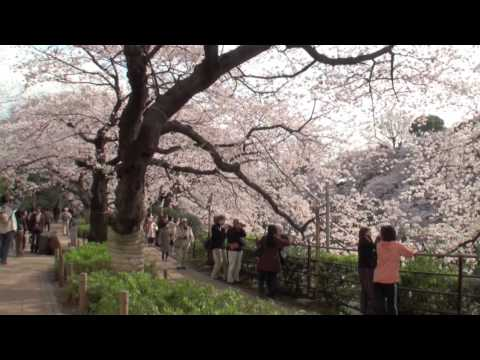 TOKYO JAPAN 東京都・千鳥ヶ淵の桜 CHERRY BLOSSOM in TOKYO  東京観光 花の名所案内