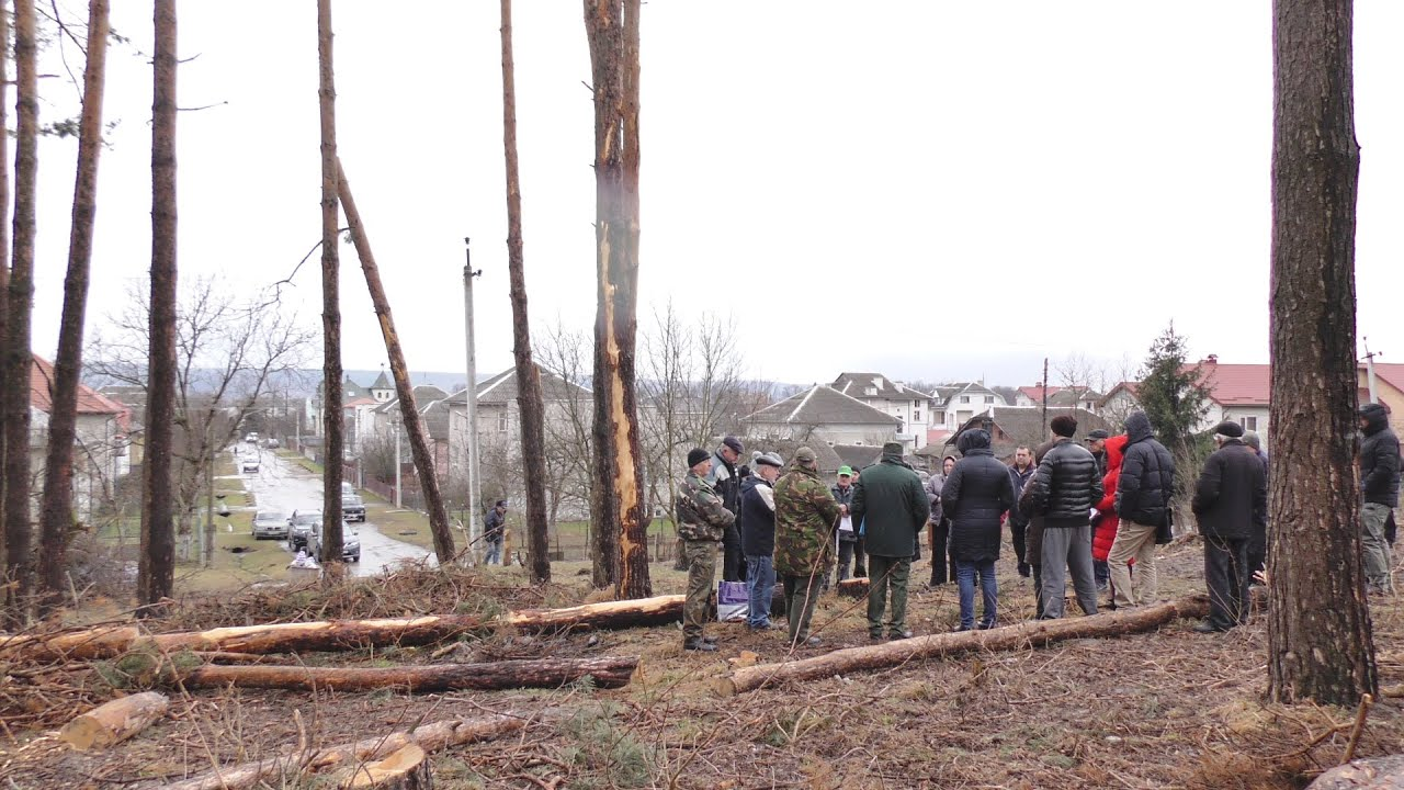 На місці зрубаного соснового лісу в Підгірках висадять понад 10 тисяч дерев на 1 гектар